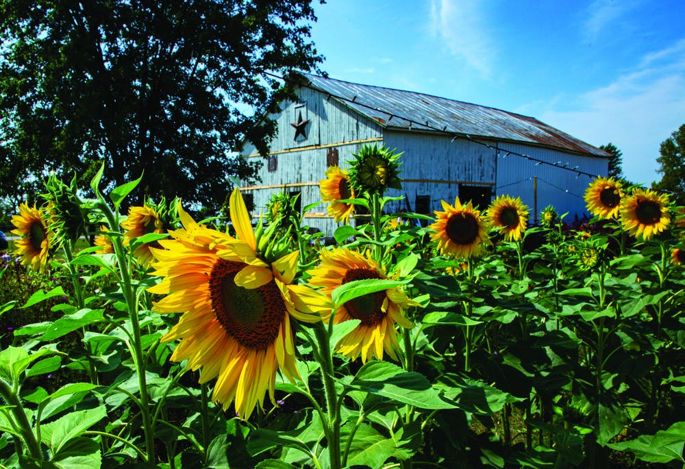<p>A row of sunflowers look toward the sun Sept. 12 2020, at Barnside Blooms. The family-run farm grows several types of sunflowers, such as Sun Filled Green sunflowers, Teddy Bear sunflowers and Moulin Rouge sunflowers. Nicole Thomas, DN</p>