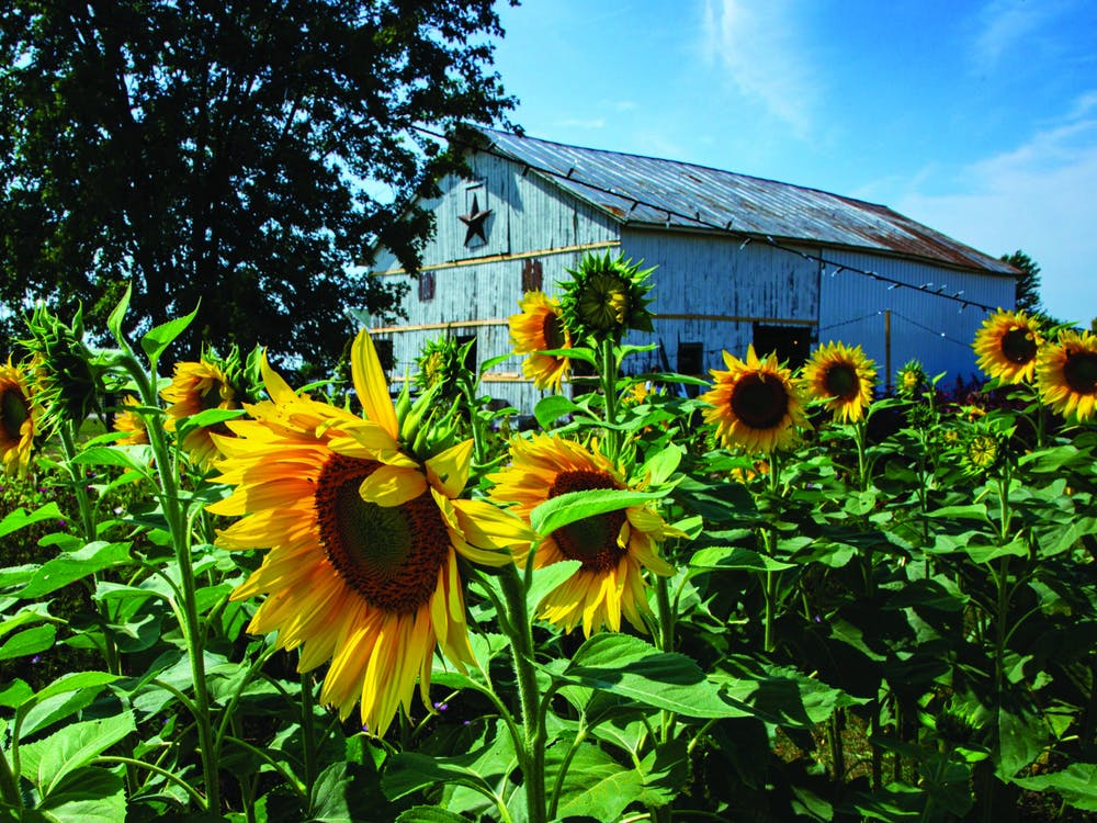 A row of sunflowers look toward the sun Sept. 12 2020, at Barnside Blooms. The family-run farm grows several types of sunflowers, such as Sun Filled Green sunflowers, Teddy Bear sunflowers and Moulin Rouge sunflowers. Nicole Thomas, DN