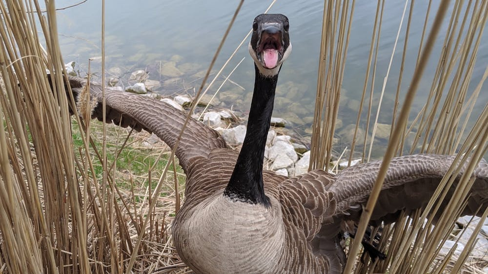 A female Canada goose shows a defense display during a routine check on her nest. David Shearer, doctoral student who was leading a Ball State student research team studying the birds' migration and nesting habits, said being close to wildlife can make the connection between people and nature closer. David Shearer, Photo Provided