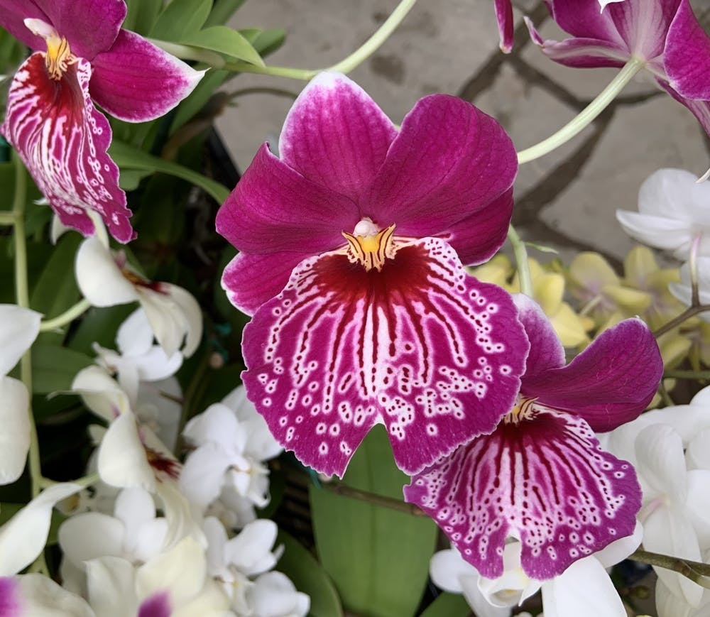<p>This photo shows one of the plants up for sale at Ball State's Rinard Orchid Greenhouse. The greenhouse's annual orchid sale being held both online and in-person this semester. <strong>Erica Forstater, Photo Provided</strong></p>