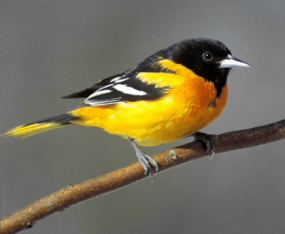 A Baltimore oriole sits on a tree branch. Kamal Islam, professor of biology, said Baltimore orioles use Muncie as a stopping point before continuing their migration up north. Pixabay, Photo Courtesy