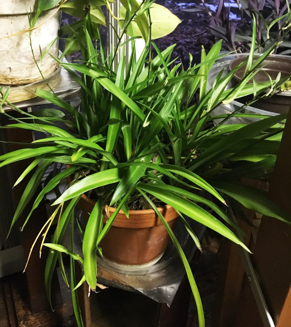 <p>Ann Heintzelman, a Ball State alumna, received a spider plant from her grandmother 35 years ago. Heintzelman keeps her plants in her sunroom with a humidifier in the winter, and during the summer months, she incorporates her plants into her outdoor garden where they truly thrive. <strong>Ann Heintzelman, Photo Provided</strong></p>