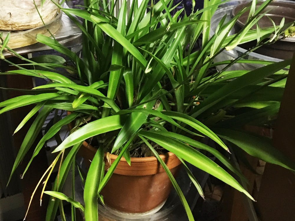 Ann Heintzelman, a Ball State alumna, received a spider plant from her grandmother 35 years ago. Heintzelman keeps her plants in her sunroom with a humidifier in the winter, and during the summer months, she incorporates her plants into her outdoor garden where they truly thrive. Ann Heintzelman, Photo Provided