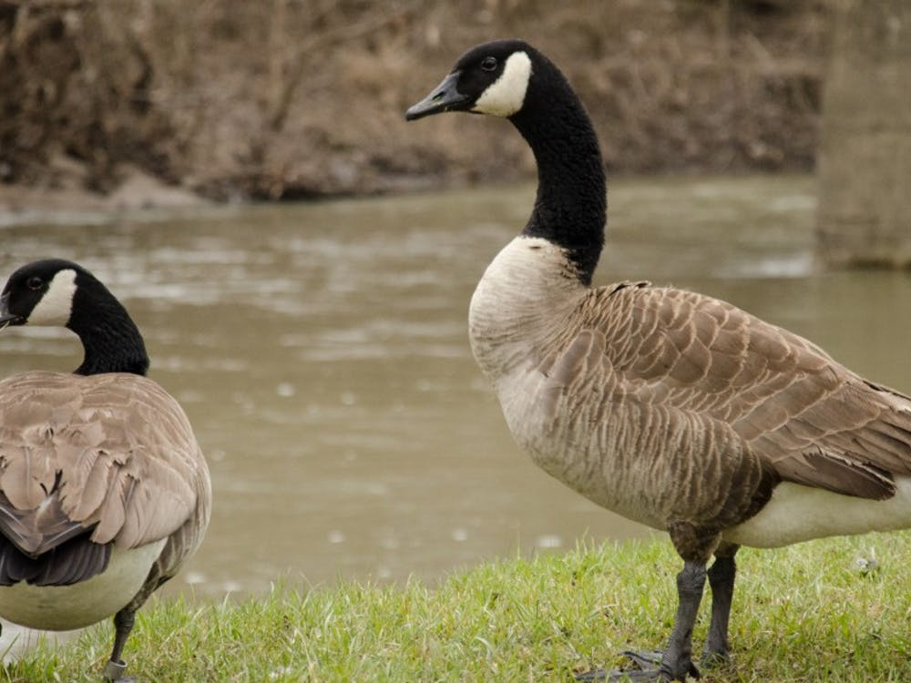 Geese appear on Muncie streets and sidewalks as spring weather approaches. Madeline Grosh, DN