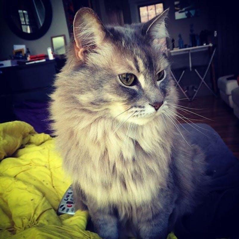 Teacher's Pet: 'needy' cat stays close to owner, communications professor