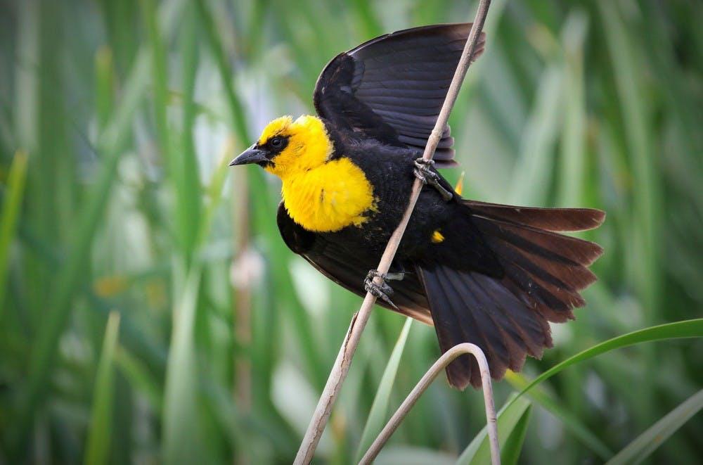 Yellow-headed Blackbird.jpg