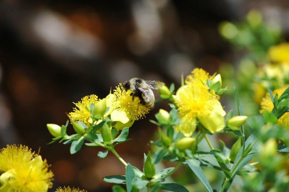 The yellow bumblebee, seen here gathering nectar on St. John's Wort, is one of 12 bumblebee species found in the UW-Madison Arboretum.