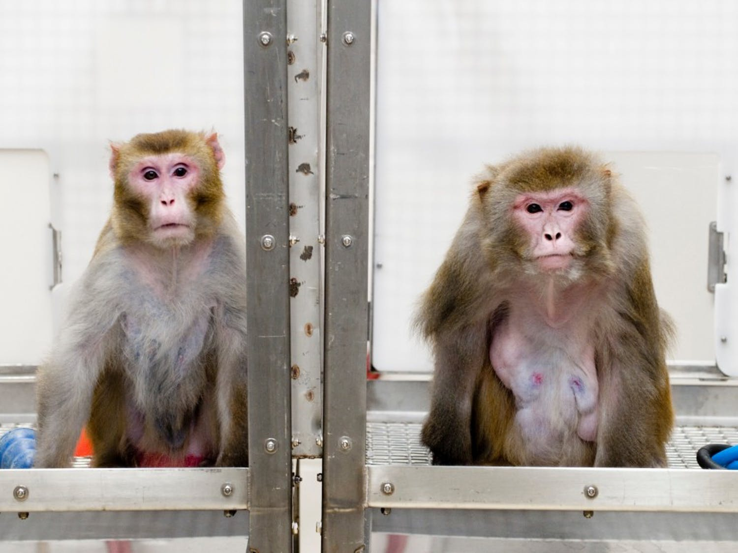 Rhesus monkeys, left to right, Canto, 27, and on a restricted diet, and Owen, 29, and a control subject on an unrestricted diet, are pictured at the Wisconsin National Primate Research Center at the University of Wisconsin-Madison on May 28, 2009. The two are among the oldest surviving subjects in a pioneering long-term study of the links between diet and aging in Rhesus macaque monkeys, which have an average life span of about 27 years in captivity. Lead researcher Richard Weindruch, a professor of medicine in the UW School of Medicine and Public Health, and co-author Ricki Colman, associate scientist at the Wisconsin National Primate Research Center, report new findings in the journal Science that a nutritious, but reduced-calorie, diet blunts aging and delays the onset of such aged-related disorders as cancer, diabetes, cardiovascular disease and brain atrophy.