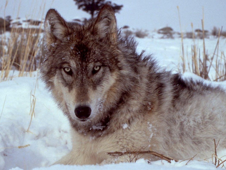 science_wolf.jpg