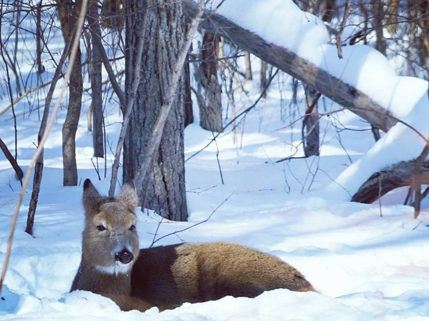 A whitetail deer in Donges Bay finds warmth in a sunny spot during the peak of the Polar Vortex. Photo courtesy of Gunther Nelson.