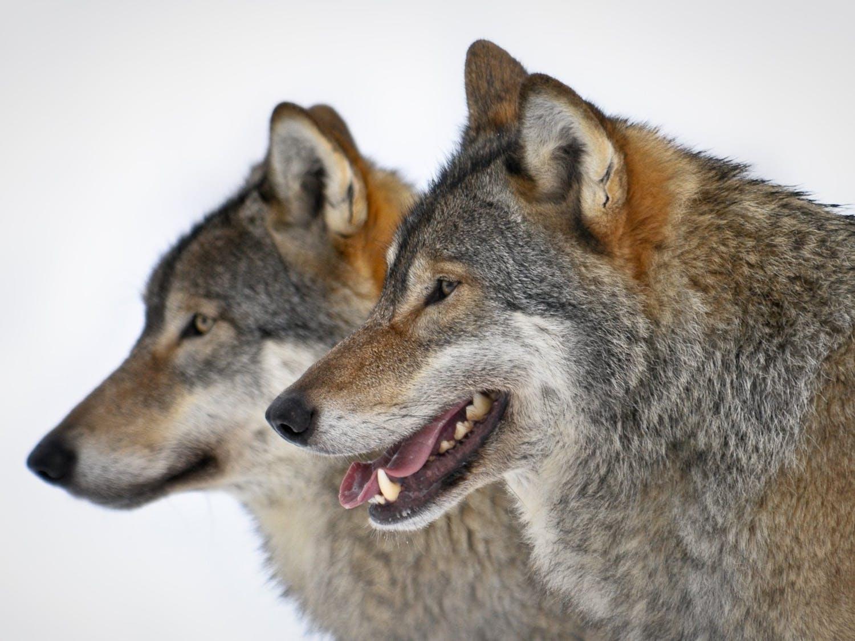 News_Wolves