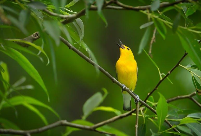 prothonotory-warbler