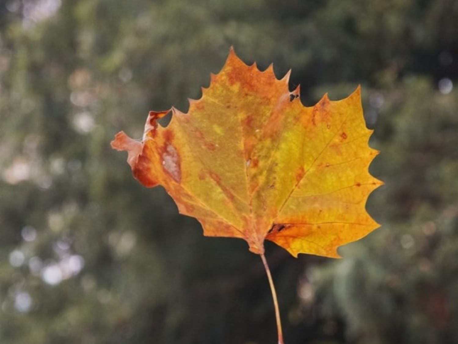 leaf-autumn-dried-leaves-leaves-wallpaper-preview.jpg