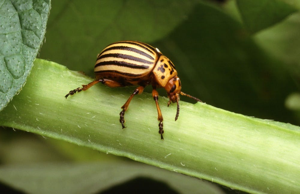 The Colorado potato beetle is notorious for its ability to rapidly adapt to pest control methods.