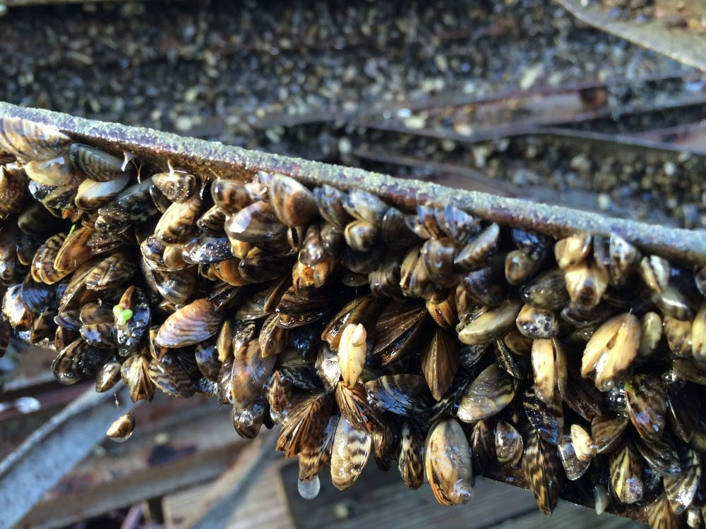 A section of the UW Hoofers pier, pulled from Lake Mendota in early November, was coated in zebra mussels, an invasive species found in the lake last fall.