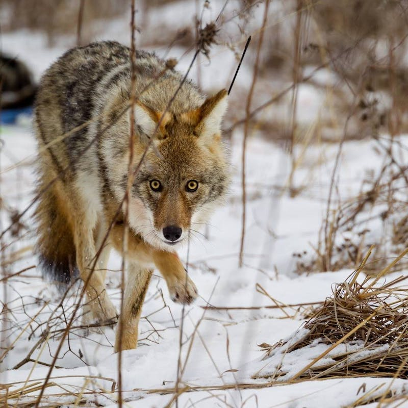 A coyote trots through the snow in one of Madison's urban green spaces.