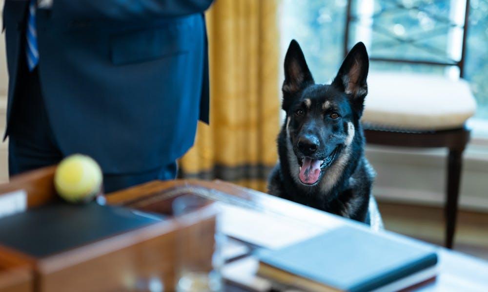 Photo of President Biden's dog, Major.