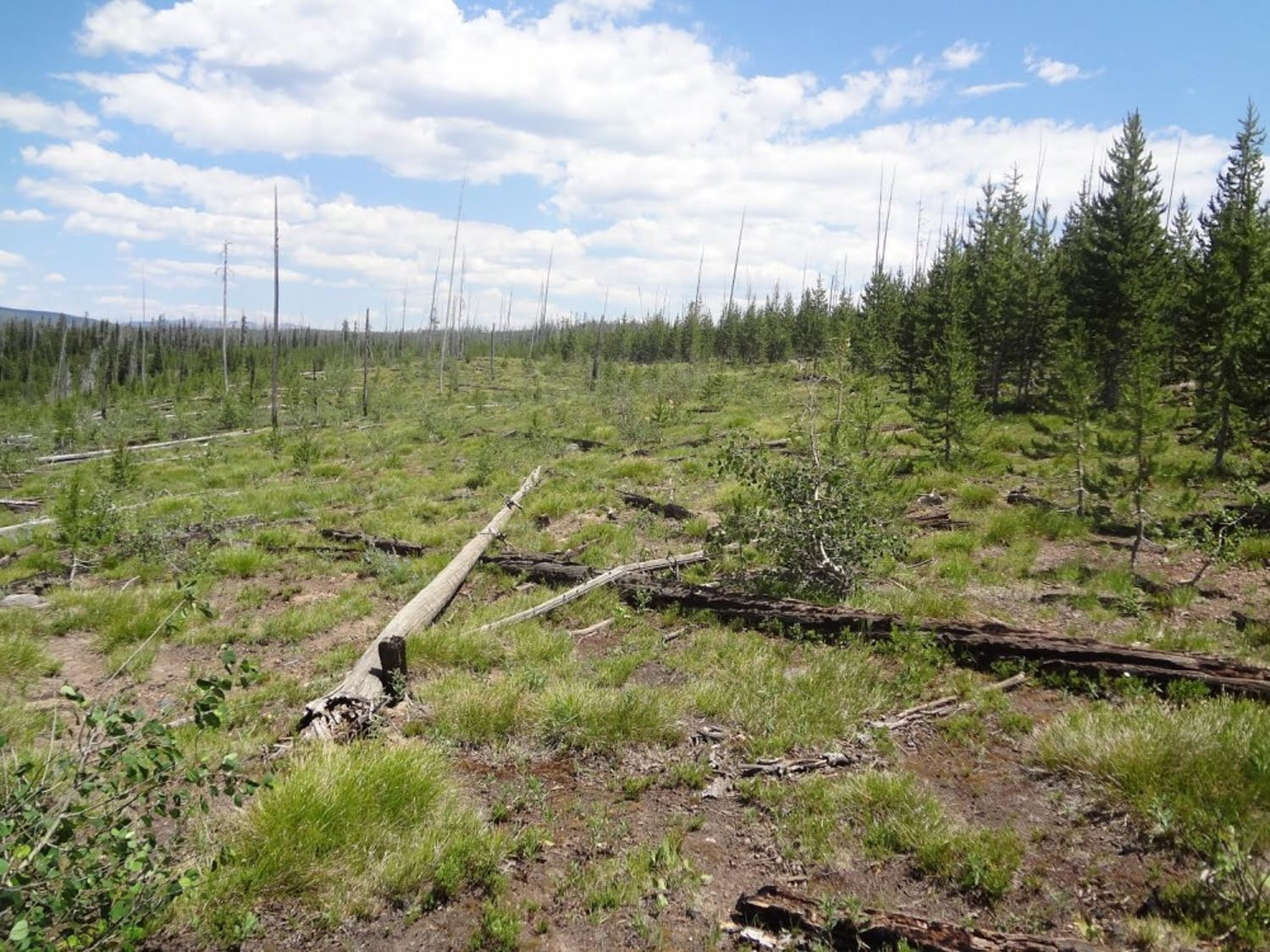 A regenerating Yellowstone forest, after the 1988 and 2000 fires. This demonstrates a loss of forest resilience.