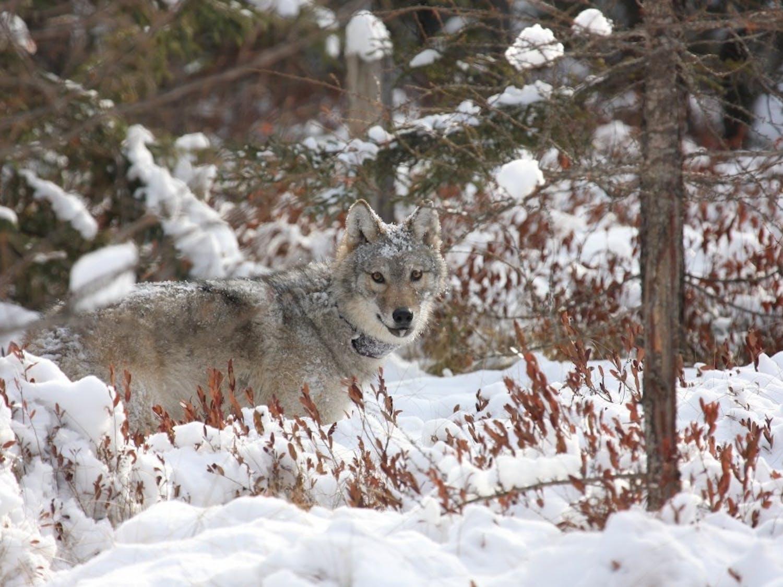 collaredwolf.jpg