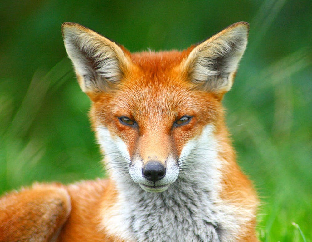 <p>No foxes or attacks have been reported near Grounds.</p>