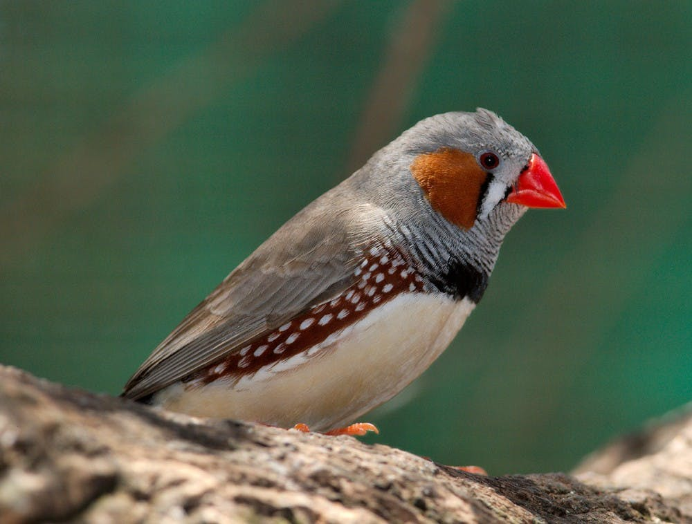 hs-zebrafinch-courtesywikimediacommons