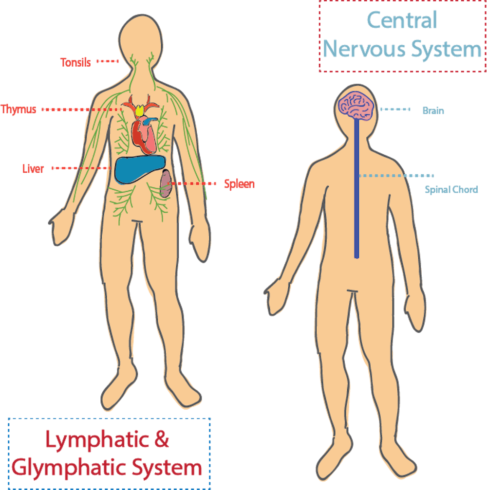 <p>Kipnis Lab studied the connection between the central nervous system and other systems within the body to treat neurodegenerative disease. &nbsp;</p>