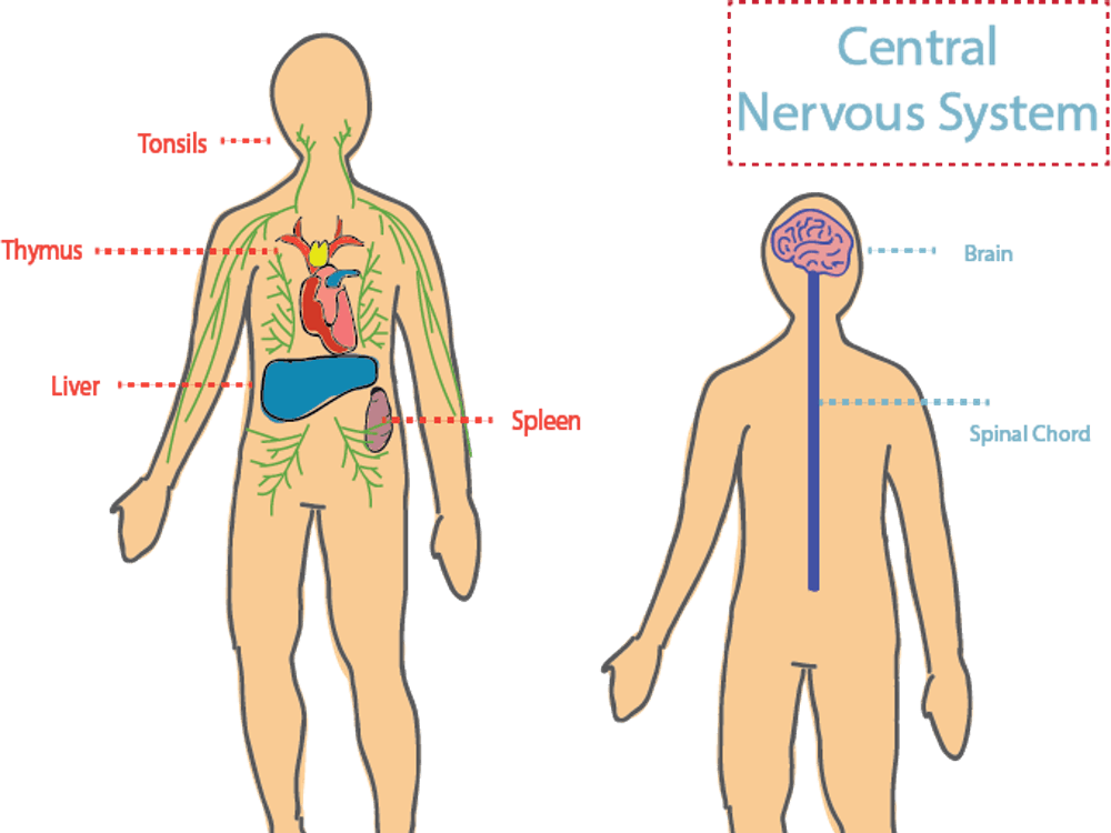 Kipnis Lab studied the connection between the central nervous system and other systems within the body to treat neurodegenerative disease.