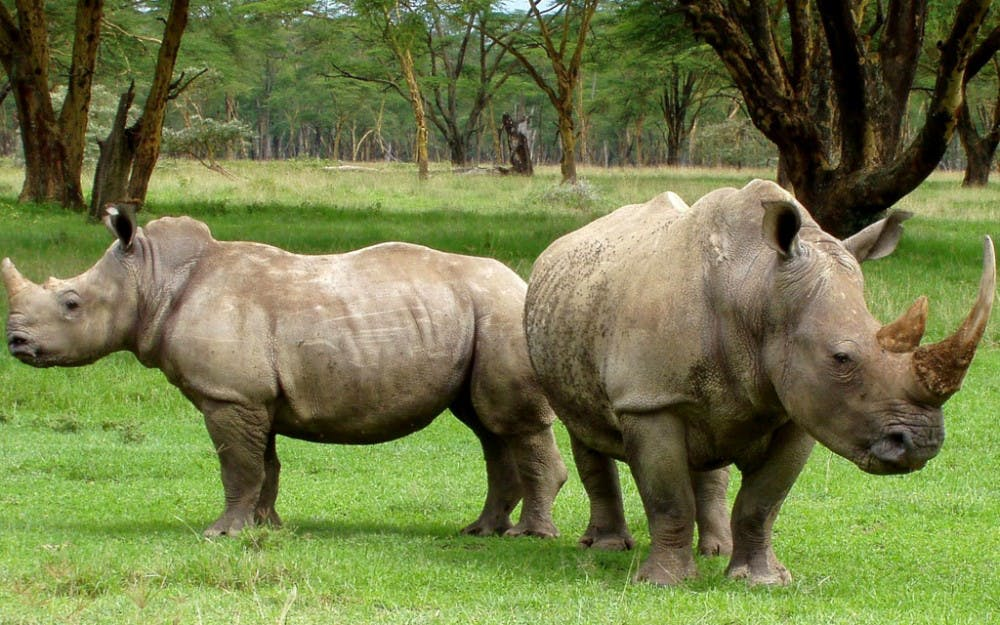 op-whiterhino-CourtesyWIkimediaCommons-2
