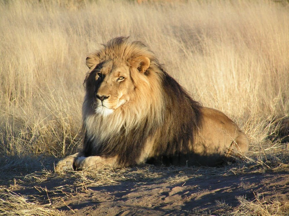 lion-waiting-in-namibia-2
