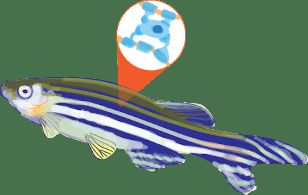 04-25-19-hs-zebra-fish-a-chen