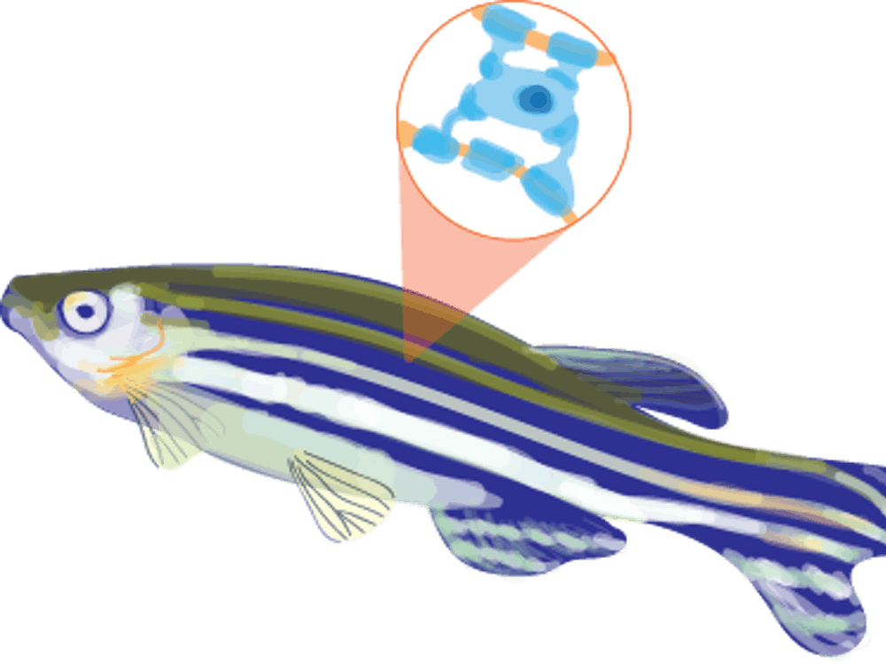 A specific advantage in research also stemmed from the transparency of the fish, which allows researchers to see the movement of cells around the area of interest.