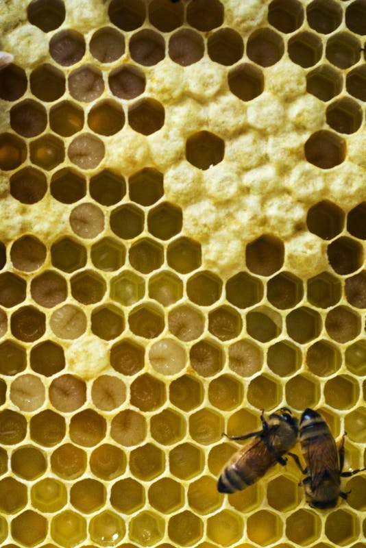Wattles_bees10