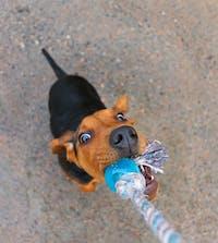 Schillerstövare Tug Of War Busa Hound Play Puppy