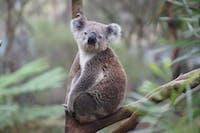 chlamydia koala