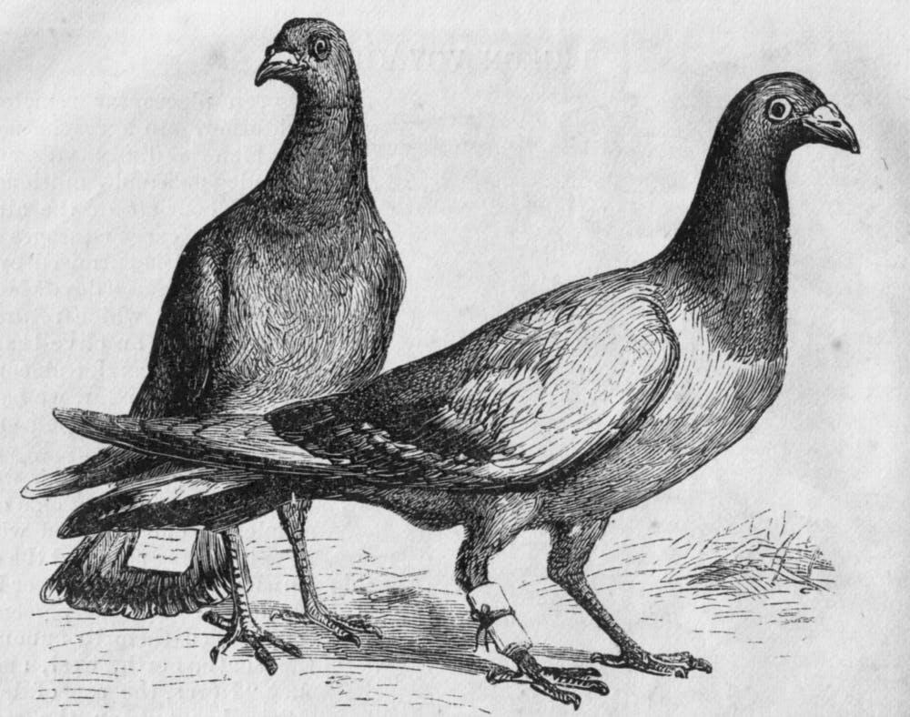 pigeon_messengers_harpers_engraving