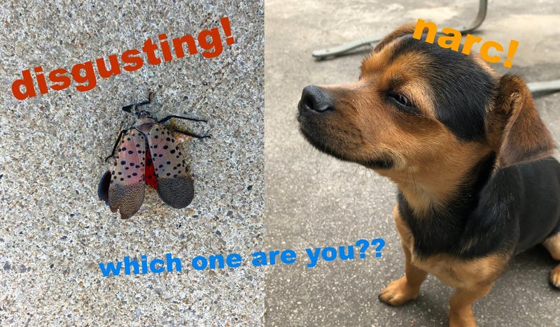 Are You More of a Lanternfly or a Penn Vet Dog?
