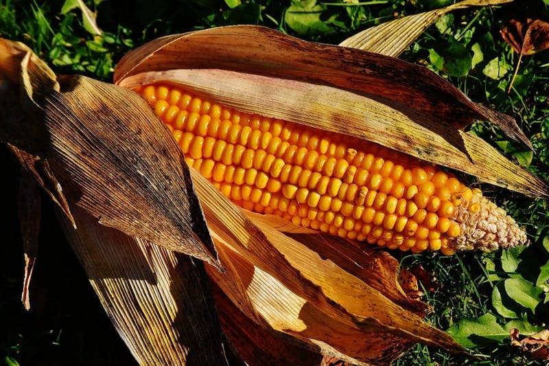 OP-ED: I Sacrificed My CIS 110 Midterm Grade for a Bountiful Corn Harvest and You're Welcome