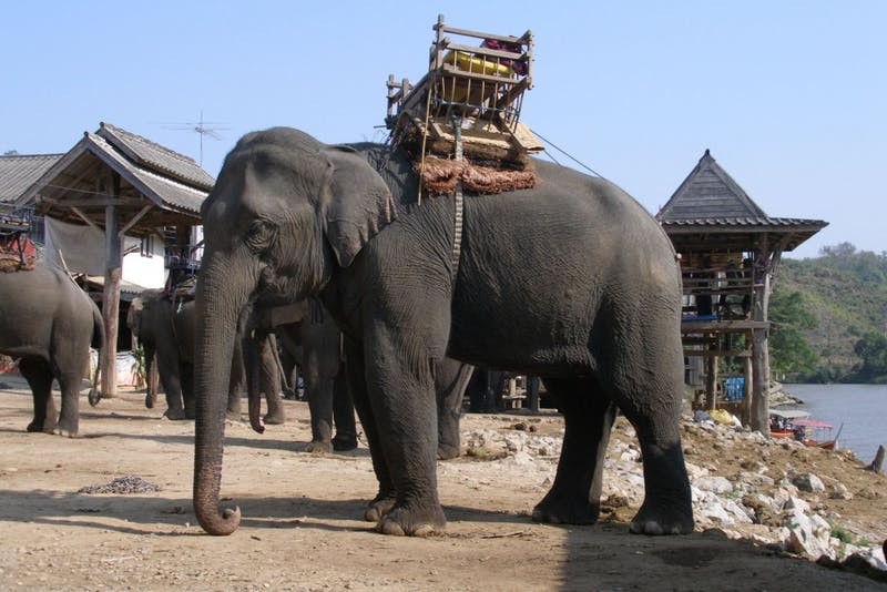 'I'm Not Abusing This Elephant, He Loves It!' Says Clueless Graduated Senior in Thailand