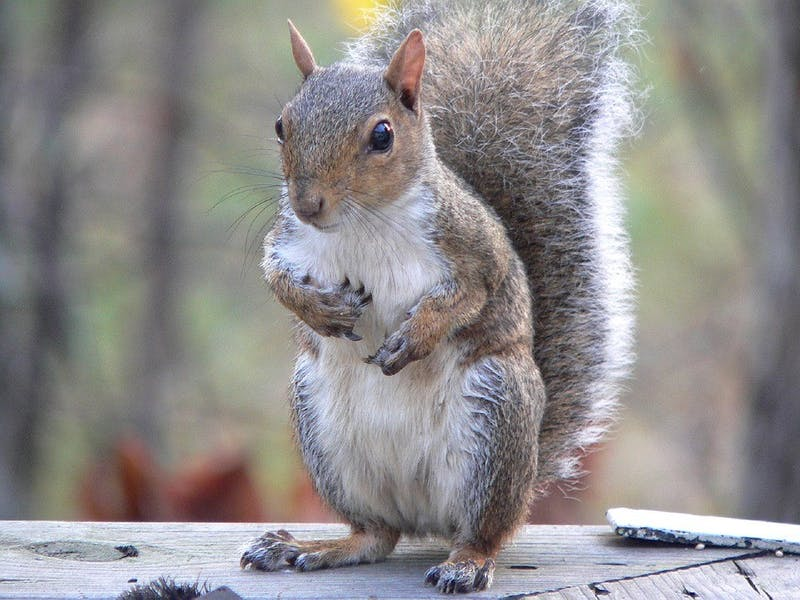Death Rate of Squirrels on College Green Skyrockets; Penn Researchers Blame Toxic Environment