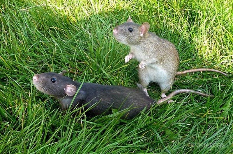 Sad: On Campus Rats Shocked to Learn OCR Isn't About Them