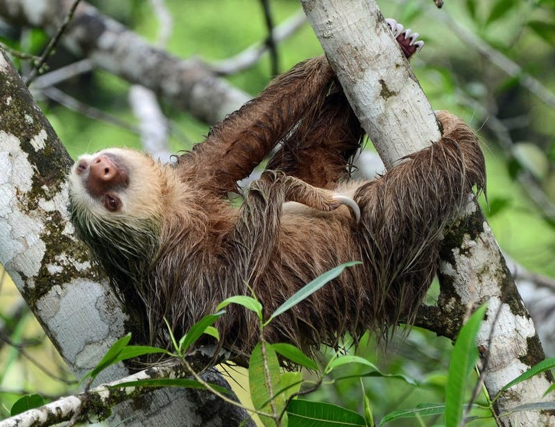 Wellness Win: Student Lives with Endangered Panamanian Sloths to Not Feel Insecure About Study Habits