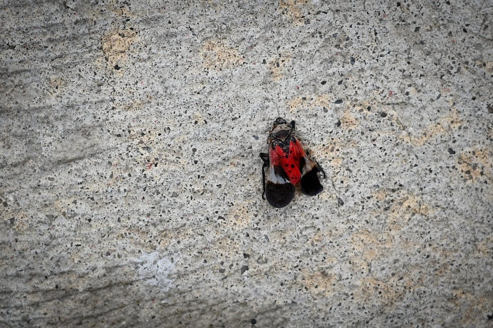spotted-lanternfly-close-crop