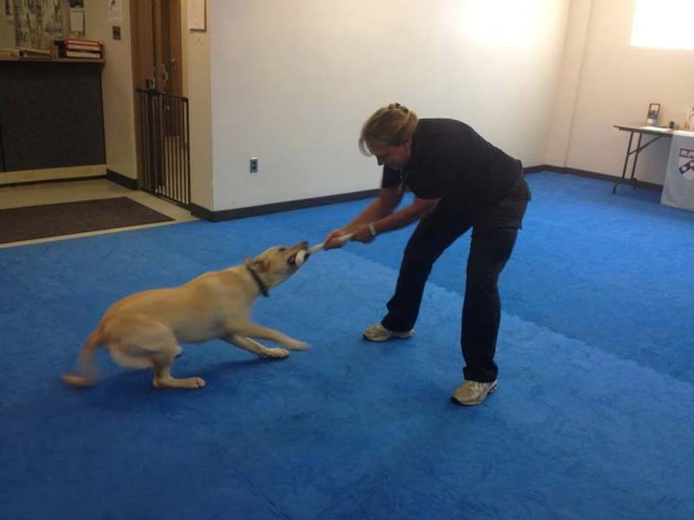 Playing with a tug toy is one of the first exercises done by puppies.  Here Socks and Annemarie DeAngelo, Training Director of WDC, have a tug of war.