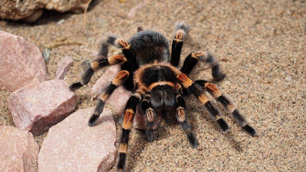 tarantula-1416353_1920