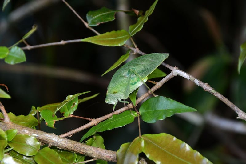 Researchers traveled to Panama to study katydids and how they evolved to survive in the ecosystem.