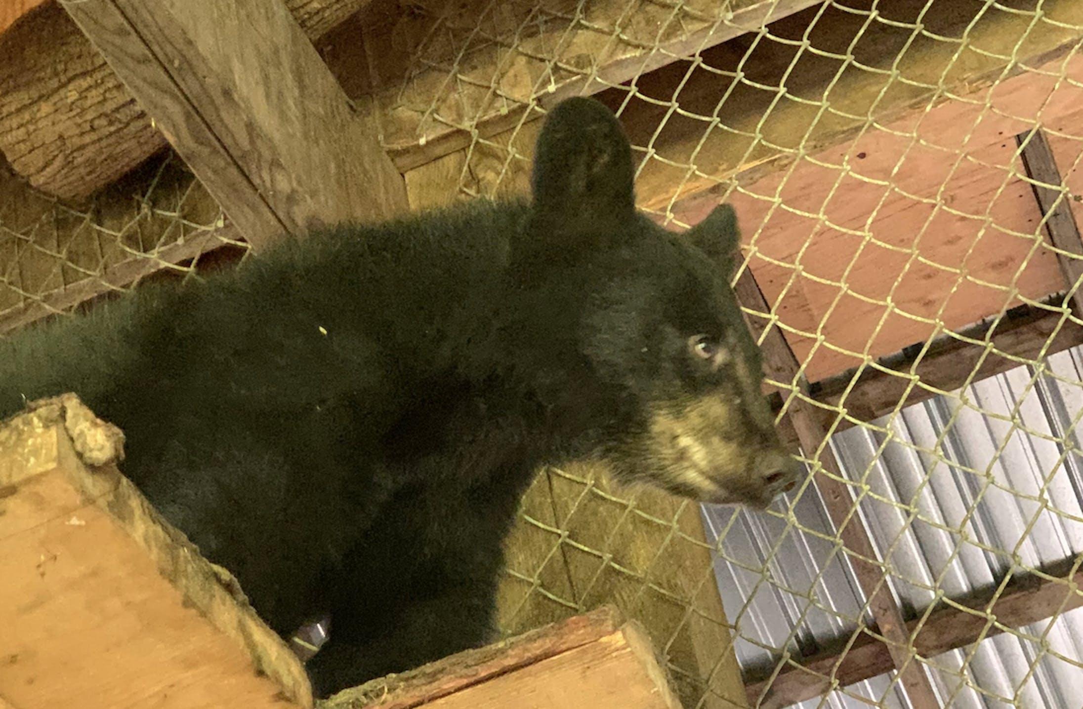 mink-cub