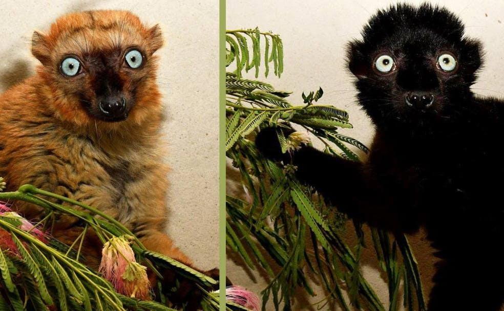 Lemurs_DukePhotography
