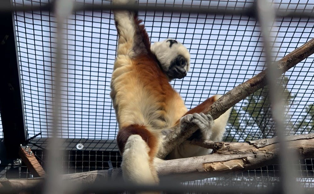 <p>The Duke Lemur Center will open Friday after 14 months of closure.</p>
