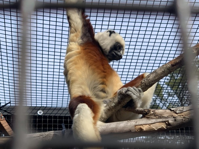 The Duke Lemur Center will open Friday after 14 months of closure.