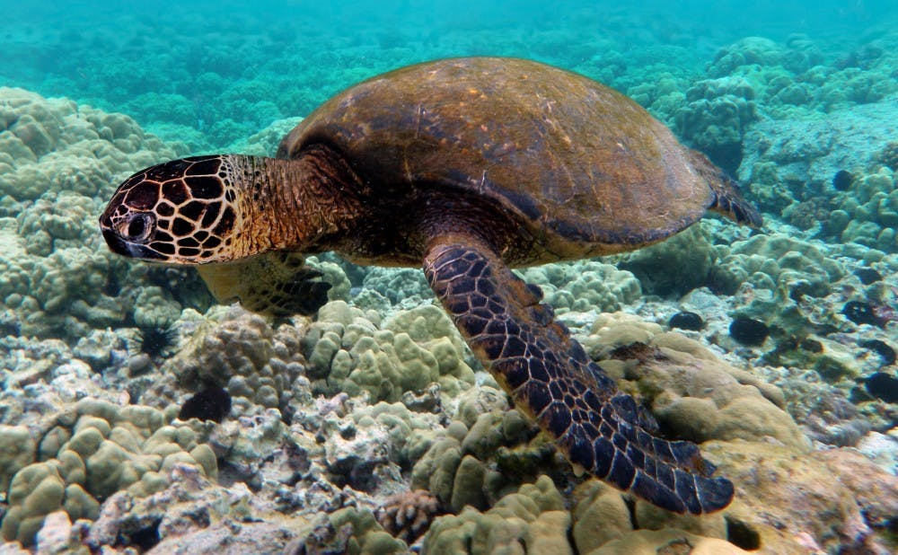 Green_turtle_swimming_over_coral_reefs_in_Kona